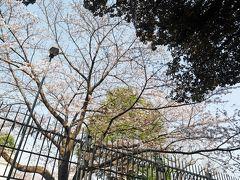 そして、英国大使館。ここの桜はまだ全然咲いていないよ!(*゜ロ゜) 期待して来たのにな('ε'o)