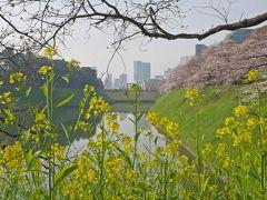 千鳥ヶ淵の交差点を渡り、千鳥ヶ淵公園のほうへ。 なんかここでカメラを構えている人が複数見えて行ってみると…  (ノ´▽`)ノオオオオッ♪  桜と菜の花とユキヤナギのコラボ(o・∀・o)