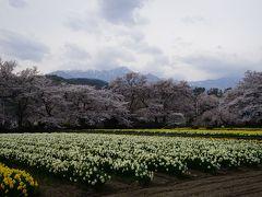 水仙と桜と南アルプスとの共演、今年は見れました・・・天気が少し残念ですが。