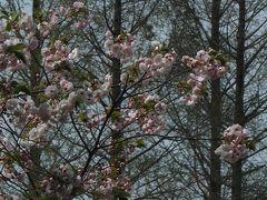 【2017/04/15 新宿御苑(東京都新宿区)】  八重桜が見頃を迎えた新宿御苑。 今年は満開の遅れたソメイヨシノも まだ残っていました。  ソメイヨシノが予定通り咲いていたら 見られなかった珍しい競演かもしれません。
