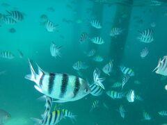 午前中は、シュノーケリングのツアー参加。  最初のポイントはAbdul's Chaletの桟橋。 魚がいっぱい。