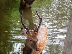 奈良公園。 夏は暑くて鹿も水浴びです。