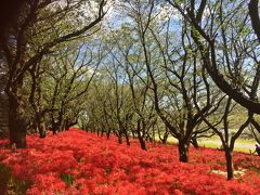 権現堂桜堤の秋の斜面を彩るのは、真っ赤な曼珠沙華。 曼珠沙華は秋の彼岸の頃に咲く花であることから、彼岸花とも呼ばれている。  私が此処の曼珠沙華の事を初めて耳にしたのはもうかれこれ10年以上前の話。 その時は未だ今よりも花の植えられた面積も狭く、知る人ぞ知る彼岸花の名所…という風に伝え聞いていた。