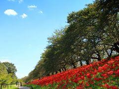 春にソメイヨシノのピンクの雲が浮かんでいた土手は、少し渋みの出てきた桜の秋色の葉、青い空、曼珠沙華の紅が作り出す3色ストライプ。
