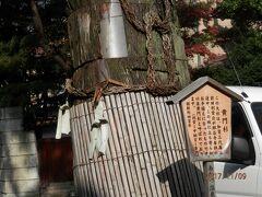 1107.黄門杉。
