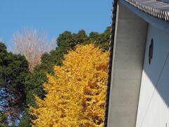 皇居 三の丸尚蔵館の奥のイチョウの黄葉  こちらのイチョウの黄葉も見頃。