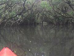 マングローブ原生林のトンネル