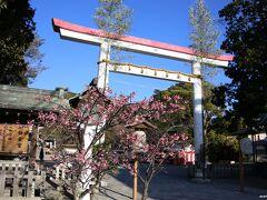 鎌倉宮 鳥居の前に咲く桜  この時期に咲くのは河津桜でしょうか。