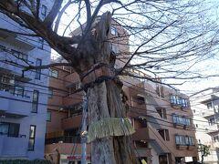 でも樹齢400年の善光寺坂のムクノキには思わず立ち止まる。 戦争で根元の半分を炭化させながらも、今も春になると緑息吹く文京区指定天然記念物。
