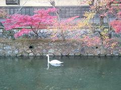倉敷川では白鳥が泳いでます😲