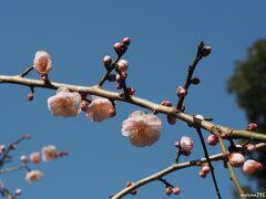 ブラフ18番館の玄関先  梅の花が咲き始めていました。