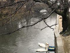 倉敷川でえさをついばんでいる白鳥。 餌付けされているんだ!