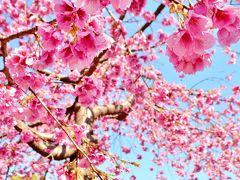 で、なんで天理市なの?と言う話ですが、インスタグラムで直前までチェックしていたらいい塩梅に開花の桜の写真を発見。 アップロードされていた方に連絡取った所、天理市では満開ですよ、との事。