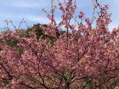 土肥の観光協会で聞いたところ、丸山スポーツ公園の桜が見頃とのことなので寄り道します。