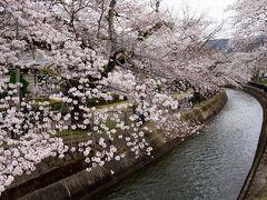 醍醐寺から移動するなら山科疏水もいいです  川沿いに桜並木が続きます