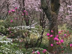 ちょっとアクセスが悪い場所ですが、原谷苑は桜以外の花も多く百花繚乱