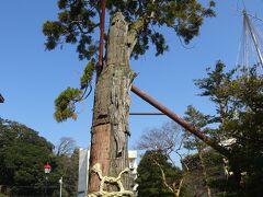 旅館前に立っています古木の黄門杉