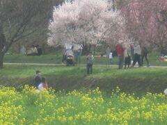 週末に東京の桜は満開と言っていたので、この日、桜と菜の花を観に遥々幸手の権現堂桜堤まで行きました。 が、しかしっ!