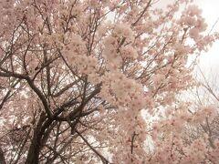 行ってみたらこんな風にきれいに咲いていたのはほんの一部。