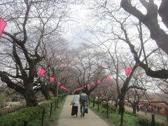 そろそろ桜まつりのはずなのに、権現堂桜堤の桜はまだまだ蕾状態ヽ(`Д´)ノ まだ早かった。リサーチ不足。大誤算でした( ;∀;)