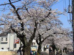 碑文谷八幡の参道の先は立会川緑道の桜並木。 桜並木が続いている感じ。