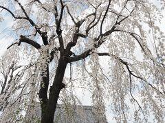 長命寺 本堂と枝垂れ桜  弘福寺の隣に並ぶ天台宗の寺院、本尊は阿弥陀如来。 隅田川七福神のうち弁財天を安置。 「長命寺 桜もち」で知られます。