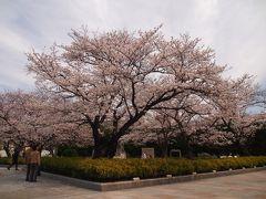 ヴェルニー公園です。 わぁぁぁ(>∀<人)♪♪ 満開の桜~