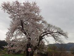 と、早速満開の大木が(*^。^*) 事前に滋賀県の桜開花情報をチェック、奥琵琶湖は他に比べて遅いのを確認した上で、元々の予定に組み込んだんやけど、まさに大正解かも(^_^)v