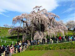 三春滝桜は日本三大桜の1つで、全国からの花見客が訪れ、朝早くから大賑わいでした。それにしても素晴らしい桜ですね~