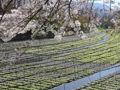 桜とわさび田