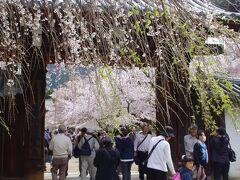 次に向かったのは豊臣秀吉の「醍醐の花見」として有名な醍醐寺です。 総門の向こう側にしだれ桜、ソメイヨシノ、山桜、八重桜など数種類、約1000本の桜がお迎えしてくれるはずと進みます。