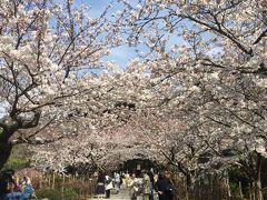 上り坂だったので、歩くと結構遠かった…。けど、建長寺では桜のトンネルが。