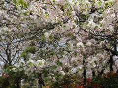 すっかり葉が出てしまっている桜  平日なのにたくさんの人がお花見していました。