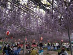 すんごい面積の藤棚!そして藤の下では、ご飯を食べながら楽しく語らう人々が。  桜が散っても楽しめる花見なんですね。