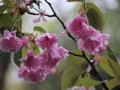 長谷寺駅ホーム 八重桜の雨だれ、予報より雨が上がるのは遅い模様