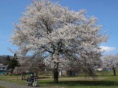 大きな桜の木とバイク 誰もいないので独り占めって感じ。枝の下の方はまだ蕾でした。