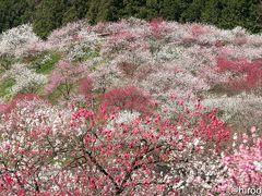 長野県阿智村のハナモモの里に行ってきました(4/22)。 ほぼ満開で、桃源郷を満喫しました。