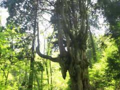 海沿いの道からクネクネ道を20分ほど走らせると、隠岐の島一番の観光スポット【岩倉の乳房杉】に到着です。樹齢800年と言われる杉の力強さに驚かされました。