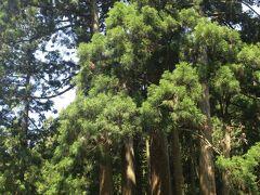 さらに内陸に進むと【かぶら杉】に出会えます。