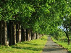 6:20 マキノのメタセコイヤ並木  新・日本街路樹百景。 マキノ高原へ続く道路沿いの延長2.4kmに約500本のメタセコイヤ並木。