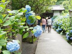 2018/6/13(水)曇り時々晴れ 北鎌倉駅から徒歩10分の明月院は、拝観時間8:30~17:00のため早起きして9時過ぎに到着。