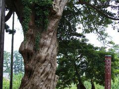 小田原城本丸のイヌマキ  常盤木橋の前にあり、幹回り4.5m、高さ20mに及ぶ小田原市内最大の巨木。 左巻きにねじれた主幹は、地上5mのところで四つに分かれ、順次枝葉を伸ばし樹冠を形作っています。 以前は四方へ密に枝を広げ、傘状の見事な姿をしていましたが、台風のため北側の大枝が折損し、支幹の一部があらわになって現在の姿になってしまったそうです。