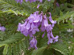 以前似たような花を見たことがあり、名前がわからず「ジャカランダもどき」と言っていたら桐の花だと教えていただいたことが。 そう思う人が多かったのか、日本の別名はキリモドキだそうです。