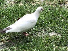 公園到着  珍しい白鳩