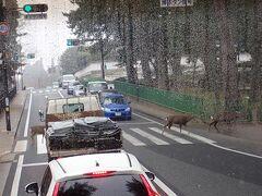 鹿横断中。「横断歩道に歩行者がいたら車が止まって待つ」のが日本の道路交通法ですから(笑)。奈良では鹿は神様のつかいでもあります。