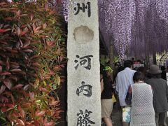 ■4月下旬~5月上旬  八幡東区河内(かわち)藤園  個人所有の藤園です。 海外の雑誌で紹介され一躍有名に。 北九州市への外国人客が急激に増えました。