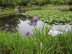 小田原フラワーガーデンに到着しました。 今回のツアーで謳っていた花菖蒲が蓮の花が咲く池の周りに 植えられていました。