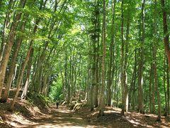 新緑真っ盛りのブナ林、いつ来ても心清らかにさせてくれます。