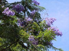 """こちらが母が見たがっていたジャカランダです。 ブーゲンビリアほど豪勢に咲いてはいませんでしたが、 紫色の綺麗なお花でした♡ ジャカランダは世界三大花木の一つで、和名は""""紫雲木"""" 花言葉は""""名誉""""""""栄光""""だそうです。"""