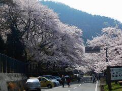 海津大崎に到着。ソメイヨシノの桜並木の入口。約60分の自由行動。